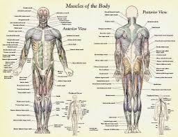 Anatomy And Physiology Muscle Labeling Exercises Muscles Of The Human Body Labeling Quiz Archives Human Anatomy Chart