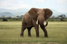 Elephant Meme - is it true that elephants never forget mental floss