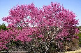 small ornamental trees dallas garden buzz