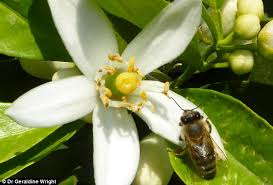 Flowers Bees Pollinate - plants give honeybees a boost of caffeine so insects return to