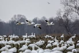 our thanksgiving tradition revisiting the snow geese here now