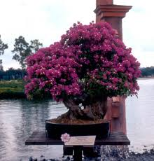 Bougainvillea Topiary - epcot center usa gardens parks squares and open spaces