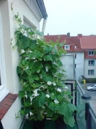 gem se pflanzen balkon gemüse auf dem balkon pflanzen botanik green24 hilfe pflege
