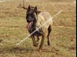 belgian shepherd north carolina der engle krieger k 9 llc belgian malinois puppies for sale