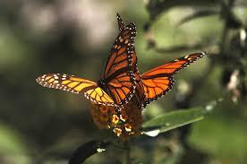 monarch butterflies face u0027quasi extinction u0027 u2014 but hope is on the