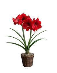 amaryllis flowers hallmark flowers amaryllis bulb in brown woven basket