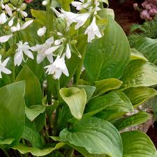 Fragrant Patio Plants Buy Hosta Fragrant Collection J Parker Dutch Bulbs