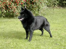belgian sheepdog south africa saved by dogs december 2015