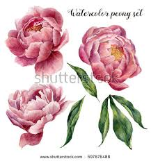 peonies flowers watercolor peony stock images royalty free images vectors