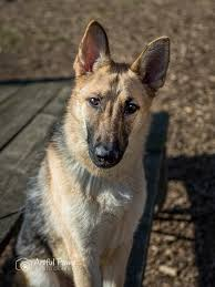 belgian sheepdog dog rescue sweet and smart rescue pet of the week u2013 fairfax va dog photographer