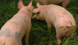 pigs are tattooed at the art farm