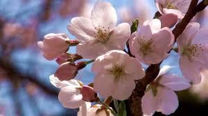 spring cherry blossoms in japan 春 桜 満開 桜祭り 花見 flower