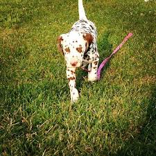 dalmatians sale ads free classifieds