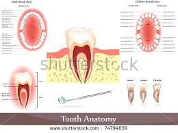 Dog Tooth Anatomy Canine Tooth Stock Images Royalty Free Images U0026 Vectors