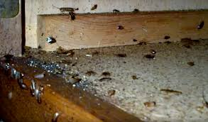 how to get rid of german cockroaches blattella germanica kitchen