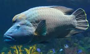 nara recommends min of fisheries to ban humphead killing daily