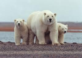 international polar bear