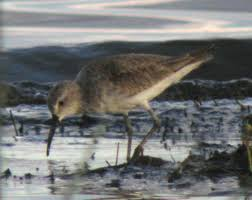 possible hybrid sandpiper in kenya sibley guides