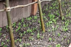 how to make a rustic pea or bean trellis out of sticks one the