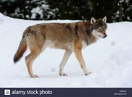 side view of a wolf walking on stock photo 37760564 alamy