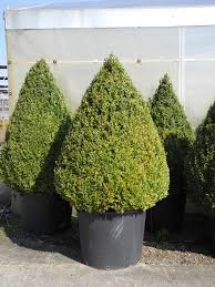 buxus sempervirens in vaso the world s most recently posted photos of arbusto and vaso