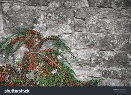 old grunge stonewall climbing plant red stock photo 334489571