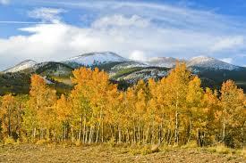 aspens in full autumn color colorado com