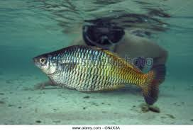 goyder river rainbowfish stock photos u0026 goyder river rainbowfish