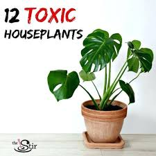 various toxic house plants toxic houseplants yucca yucca palm