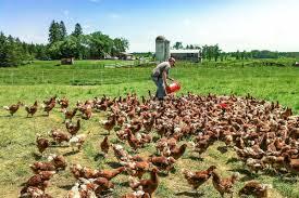 Backyard Chicken Farming by How Backyard Chicken Farmers Grew To Sell 7 000 Cartons A Week