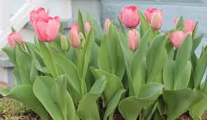 Texas Vegetable Garden Calendar by Growing Tulips In Texas