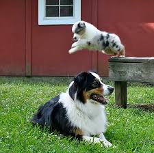 australian shepherd puppies 7 weeks 219 best australian shepherds images on pinterest animals