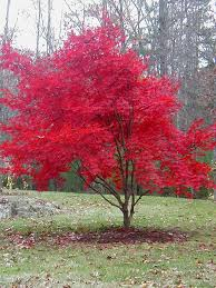 best 25 maple tree ideas on japanese maple