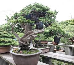 care guide for the large juniper bonsai tree youtube