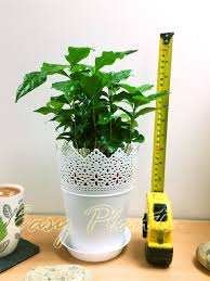 1 arabica coffee plant tree in pot indoor house garden grow your