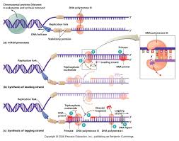 dna replication bchm 2024 concepts of biochemistry pinterest