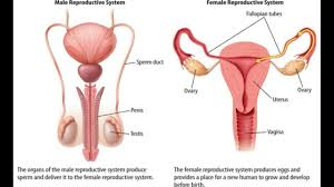 Anatomy Of Reproductive System Female Differences Between The Male And Female Reproductive Systems Youtube