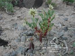 plants native to utah utah rare plant guide species descriptions