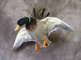awesome mallard mount duck hunting pinterest mallard