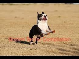 Boston Terrier Meme - boston terrier compilation youtube