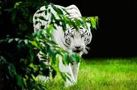 tiger white predator free photo on pixabay
