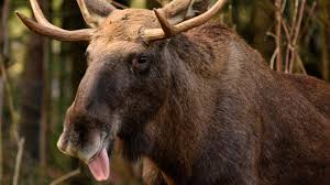 what do moose eat reference com