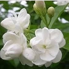 Indoor Fragrant Plants - amazon com 9greenbox jasmine maid of orleans plant 4