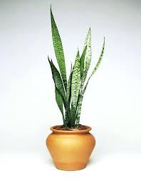house plants low light tall indoor plants low light boromir info