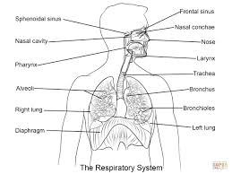 respiratory system diagram labeled black and white respiratory