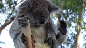 koalas are awesome album on imgur