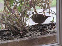 33 best plants for birds wrens feeding garden visitors wildlife the rspb community