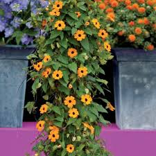 black eyed susan vine u201cthunbergia alata u201d is a colorful climbing