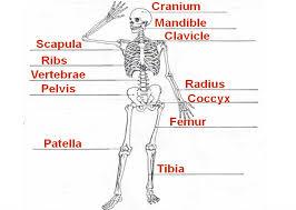 skeletal and muscular system worksheet prephockey org