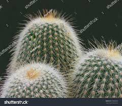 depth field photo ornamental cactus stock photo 570886909